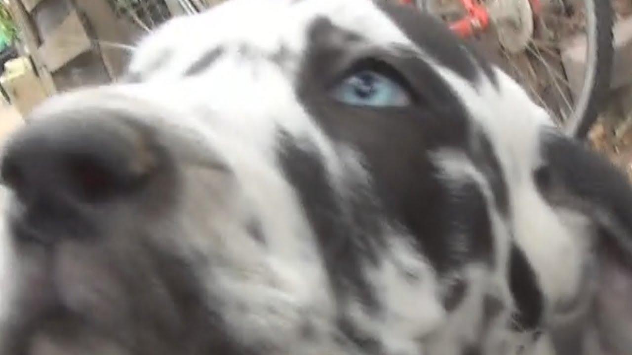 Cachorros gran danés con su madre adoptiva por morir la hembra en el ...