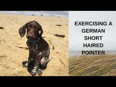 Exercising a German Short Haired Pointer, puppy, GSP