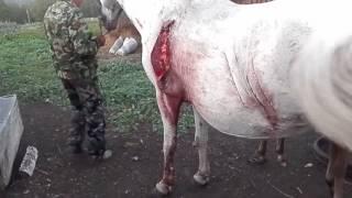 в Башкирии Медведь до мяса расцарапал лошадь с жеребенком