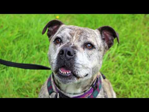 ** REHOMED! ** RSPCA Rehoming: Leo the male staffie x bulldog (dog)
