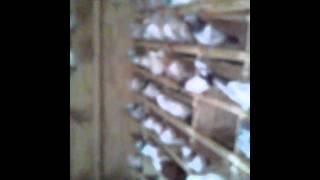 Bronx tippler pigeons Charlie Roof