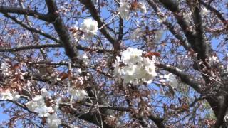鎌倉 砂押川プロムナードの桜