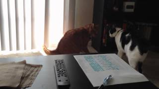 Cat Fight Body Slam