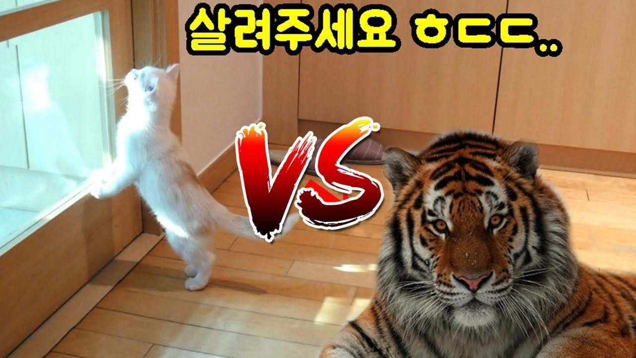 집에 호랑이를 데려올때 고양이의 리얼 반응은?!