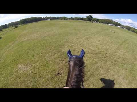 Whoa Damnit- Rugby Groton House Farm HT's Training Level (Morgan Horse)