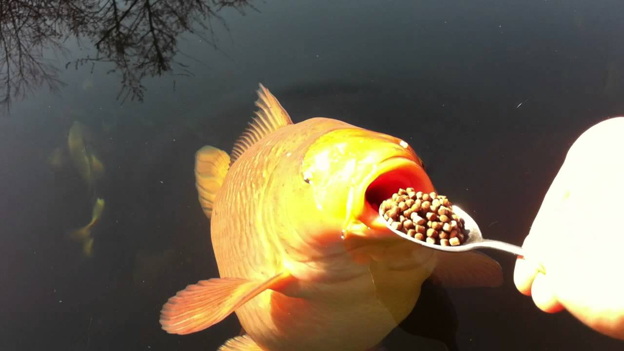 Greedy chagoi is getting spoon fed youtube for Large coy fish