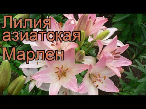 Лилия азиатская Марлен (lilium marlen) 🌿 лилия Марлен обзор: как сажать луковицы лилии Марлен