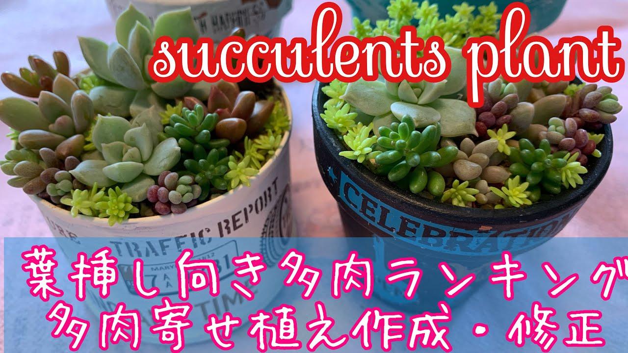 Succurents Plant 葉挿し向き多肉ランキング/多肉寄せ植え作成・修正/セダム/ブロンズ姫/白牡丹/ガーデニング