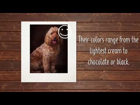 furrylicious-facts-about-the-cockapoo