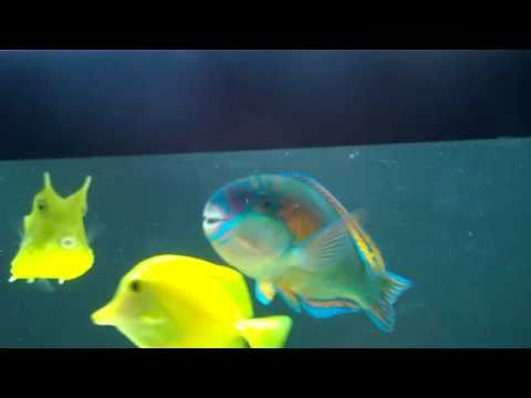 Beautiful Princess Parrotfish In Home Aquarium