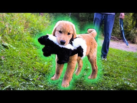 GOLDEN RETRIEVER PUPPY FINDS SKUNK!