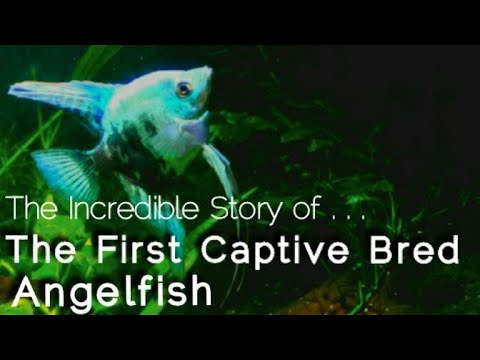 The First Angelfish Breeder: A History Of Pet, Tropical Fish. Aquarium Visionaries & Innovators E.1