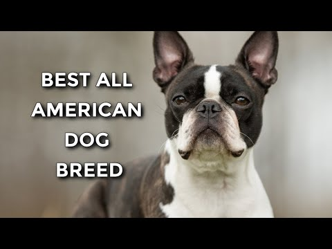 20 Reasons Why The Boston Terrier Is The Best Dog Breed Ever