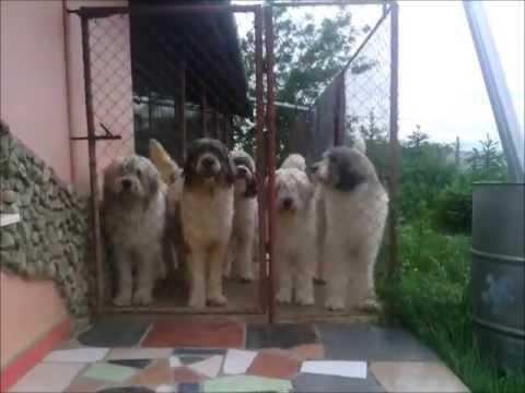 Te-astept diseara la portita...