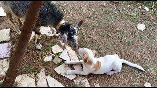 Keçilere kafa tutan yavru köpek