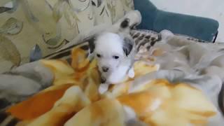Продаётся щенок №5 китайской хохлатой собаки - мальчик пуховый бронзово-белый.