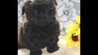 Yorki-poo Puppies Only $500.00 Each Call 717-435-0263 Mvi 0572
