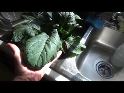 JAPANESE GREENS - EASY SEED TO PLATE - HOW TO GROW IN THE HOUSE (OAG 2016)