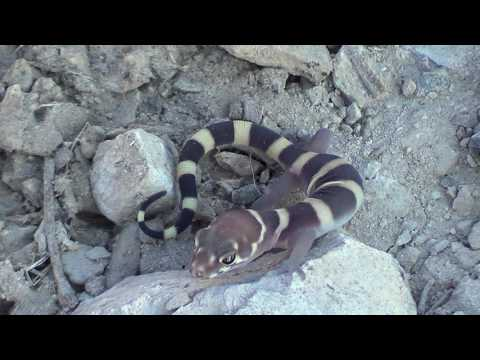 Reptiles, Lizards, & Snakes - Animals Fauna Ecosystems of Western N America Nature