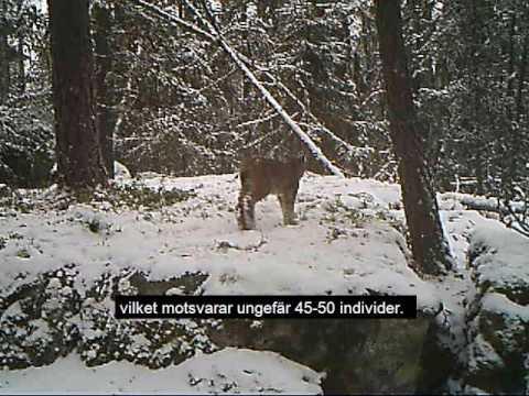 Inventering lodjur vintern 2016/2017