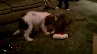 Ellie & Mowgli Sheepadoodle Puppies 14 1/2 weeks old