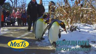 Last Few Days of Penguin Days - Cincinnati Zoo
