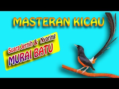 MASTERAN MURAI BATU NEMBAK PANJANG  - Bamis Animal Farm