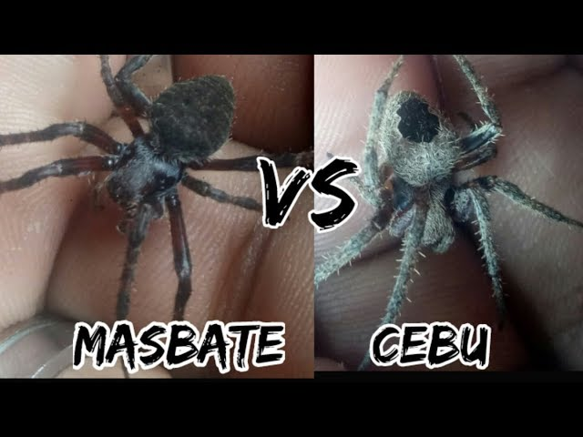 TALA VS KURYENTE/RUN FOR YOUR LIFE (SPIDER FIGHT)