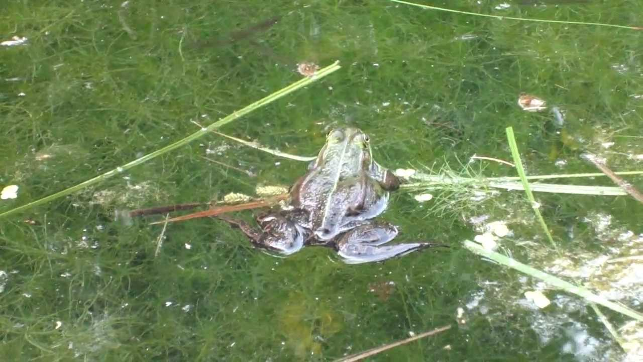 Frösche quaken am Teich, lustiges Froschlied, Botanischer Garten Gießen, Thomas Koppe - YouTube