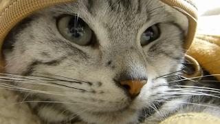 もっと猫だって強くなりたい! ~へなちょこあめちゃんがいつもより凛々しい -Leopard Cat