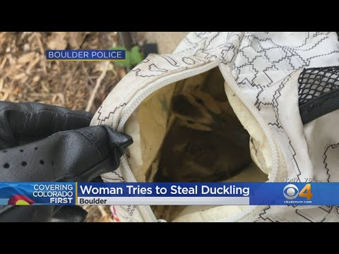 BEARDO - Boulder woman tries to ducknap a duckling