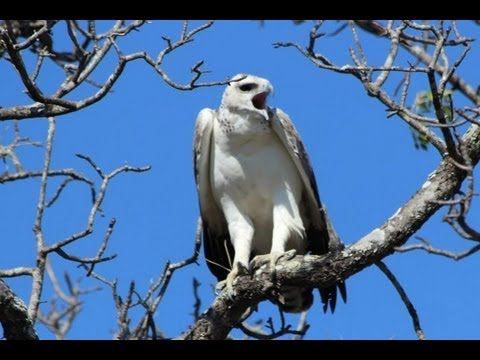 Martial Eagle Calling - 4 June 2013 - Latest Sightings