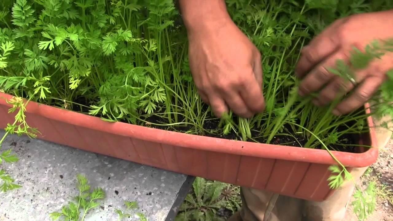 C mo cultivar zanahoria en maceta balc n comestible for Como cultivar peces en casa
