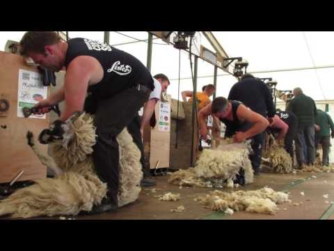 Northumberland 2016 Open Sheep shearing final - WATCH IN HD