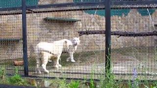 Крым. Сафари-парк львов