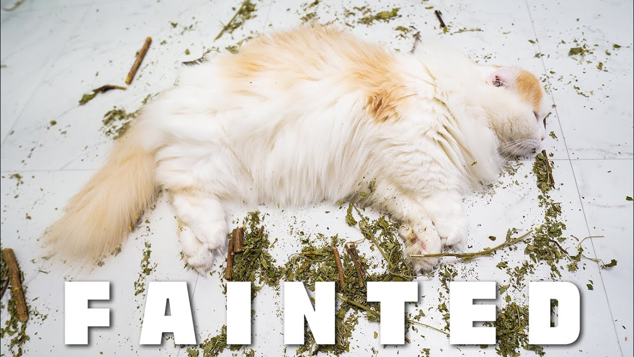[vlog] The Cat was So Drunk on Catnip That He Fainted│Catnip Party [4K]