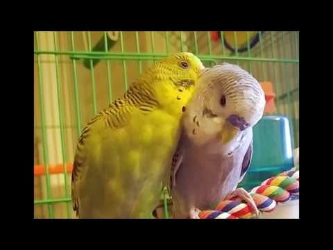 Two budgies preen and groom each other before they go to sleep