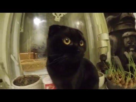 """самый умный кот """"Леопольд"""" перемены в жизни кота!скоттиш-фолд"""