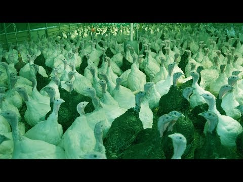 Starting a Business - How to Start a Business of Turkey Farm and Raising Turkeys Farming