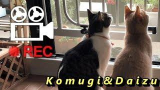 動画編集にPowerDirectorを導入😄【猫日記こむぎ&だいず】2018 05 25 thumbnail