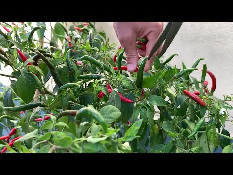 Tips for growing chili