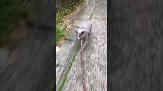 2歳になったラフ坊が 猫島へやってきた! 旅するロシアンブルー ラフ坊...