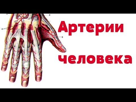 артерия, что это такое артерия