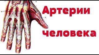 Видео-урок по анатомии. Артерии человека / Артерії людини