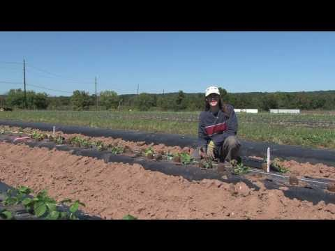Rutgers Cooperative Extension Strawberry Project - First Quarter Report