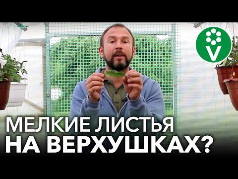 Вопрос: Почему мельчают розы Почему цветки розы стали мелкими Что делать?