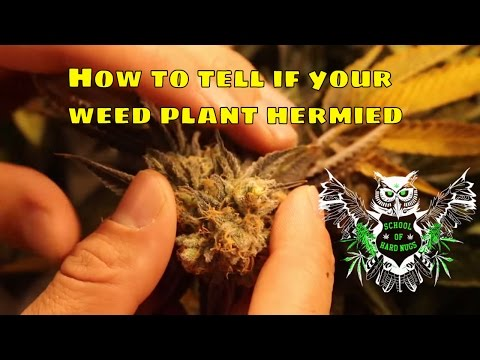 Hermied Weed Plant | How to tell if your cannabis plant is a hermaphrodite and what to do to fix it