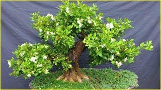 Trồng cây nguyệt quế hoa thơm rước tài lộc