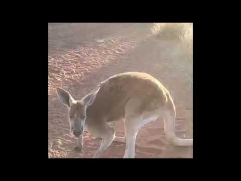 Old Kangaroo Takes a Break || ViralHog