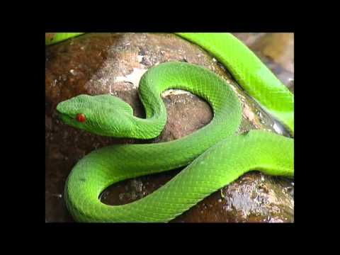 pit viper (eyes on Leuser)